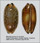 Mauritia scurra