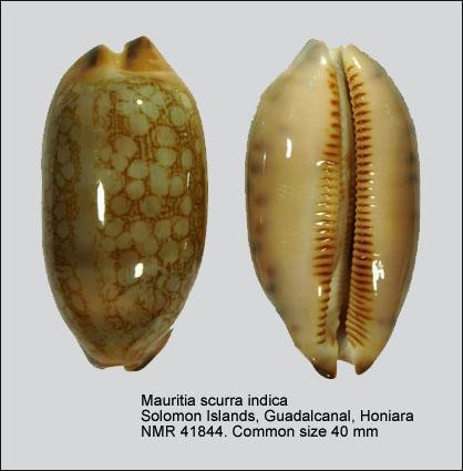 Mauritia scurra indica