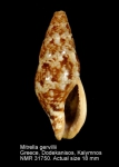 Mitrella gervillii
