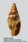 Mitrella guttata