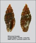 Mitromica foveata