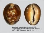 Monetaria caputserpentis caputophidii
