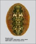 Mopalia ciliata