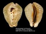 Muracypraea mus bicornis