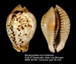 Muracypraea mus tristensis