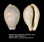 Neobernaya spadicea