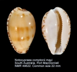 Notocypraea comptonii mayi