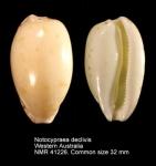 Notocypraea declivis