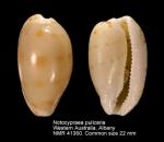 Notocypraea pulicaria