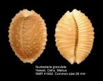 Nucleolaria granulata