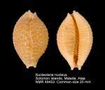 Nucleolaria nucleus