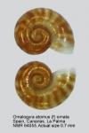 Omalogyra atomus