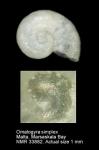Omalogyra simplex