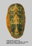Onithochiton quercinus