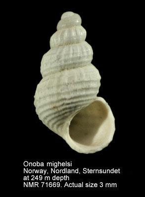 Onoba mighelsii