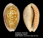 Ovatipsa chinensis