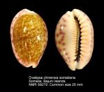 Ovatipsa chinensis somaliana