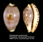 Palmadusta contaminata