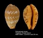Palmadusta ziczac