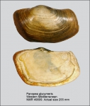 Panopea glycimeris