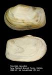 Panopea zelandica