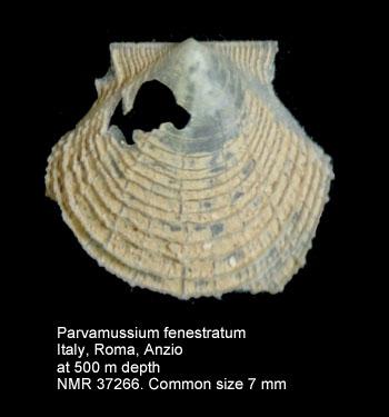 Parvamussium fenestratum
