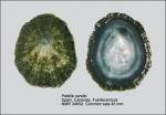 Patellidae