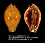 Perisserosa guttata surinensis