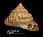 Perotrochus atlanticus