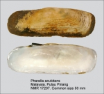 Pharella acutidens