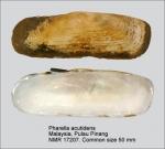 Pharidae