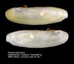 Phaxas pellucidus
