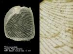 Philine angulata