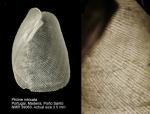 Philinidae