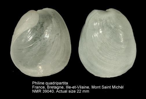 Philine quadripartita