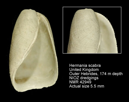 Hermania scabra