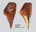 Pinna bicolor
