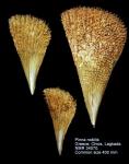 Pinna nobilis