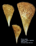Pinnidae