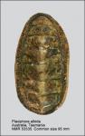 Plaxiphora albida