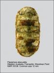 Plaxiphora obscurella