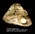 Pomaulax gibberosus