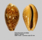Pseudozonaria annettae