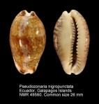 Pseudozonaria nigropunctata