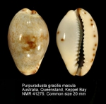 Purpuradusta gracilis macula