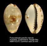 Purpuradusta gracilis macula