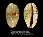 Purpuradusta gracilis notata