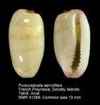 Purpuradusta serrulifera