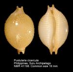 Pustularia cicercula