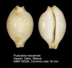 Pustularia mauiensis